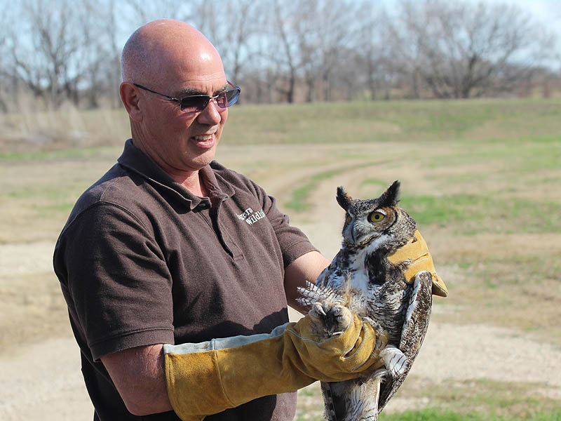We finished the day by releasing Great Horned Owls.