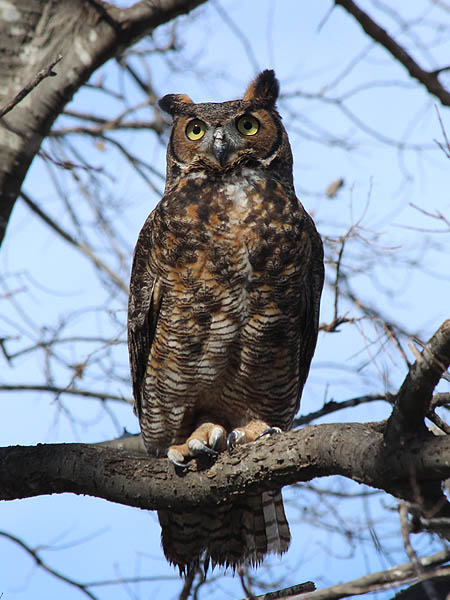 Compare the Great Horned Owls bright yellow eyes to the dark black eyes of a Barred Owl.