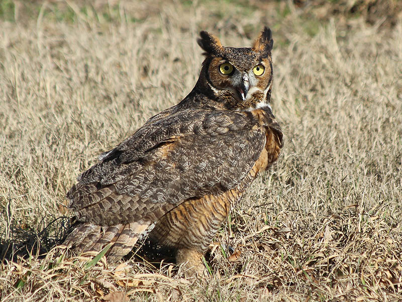 This grounded Great Horned Owls soon attracted the attention of a number of photographers.