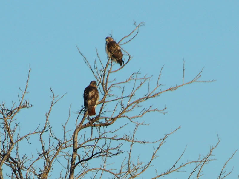 The male and female hawks together.