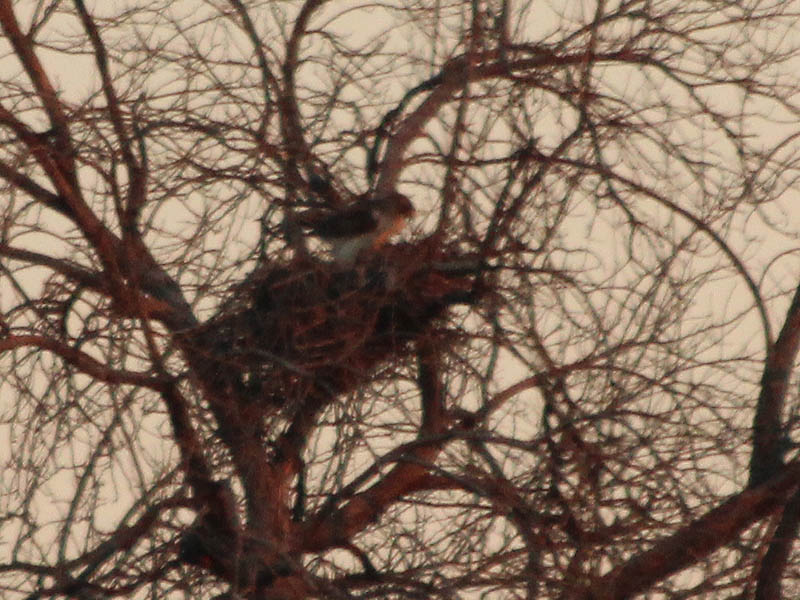 The female Red-tailed Hawk working on her nest.
