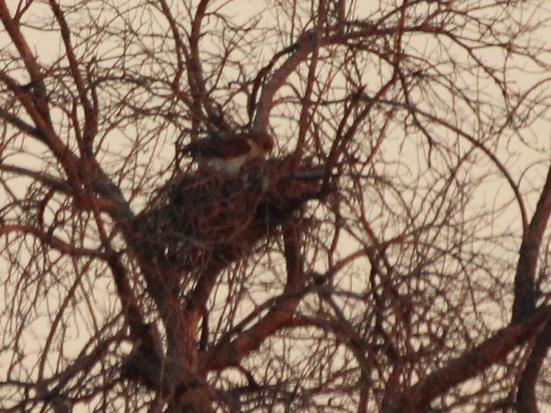 Another view of the female hawk preparing her nest for a soon to be laid clutch of eggs.