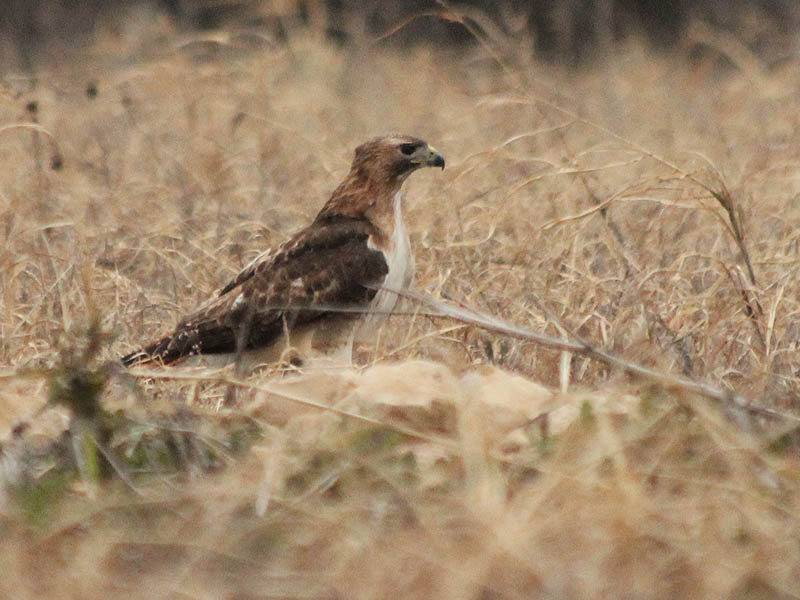 Red-tailed Hawk - Baylor Nest Update 1
