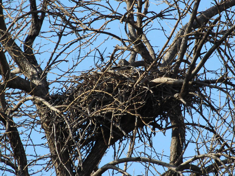 A closer look at the rugged construction of the Red-tailed Hawk nest.