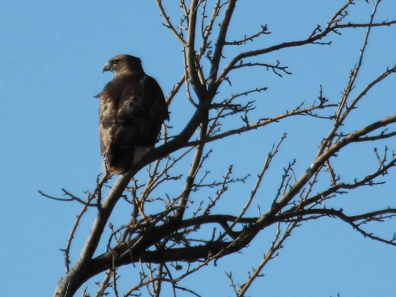 One or the other Red-tailed Hawk is always close by.