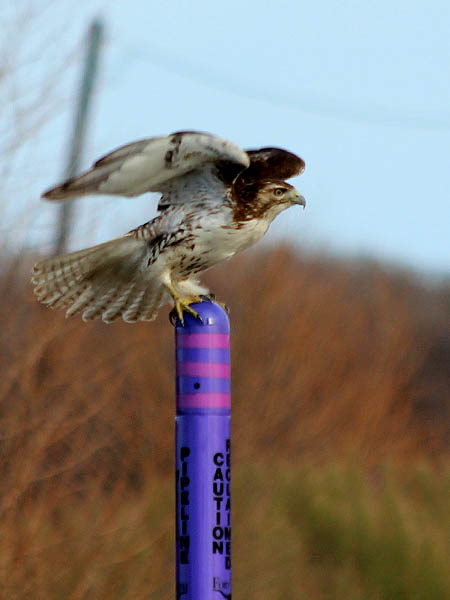 Red-tailed Hawk - Purple Pole