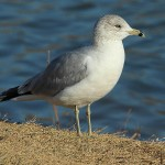 Ring-billed Gull - Gulls on the Ground