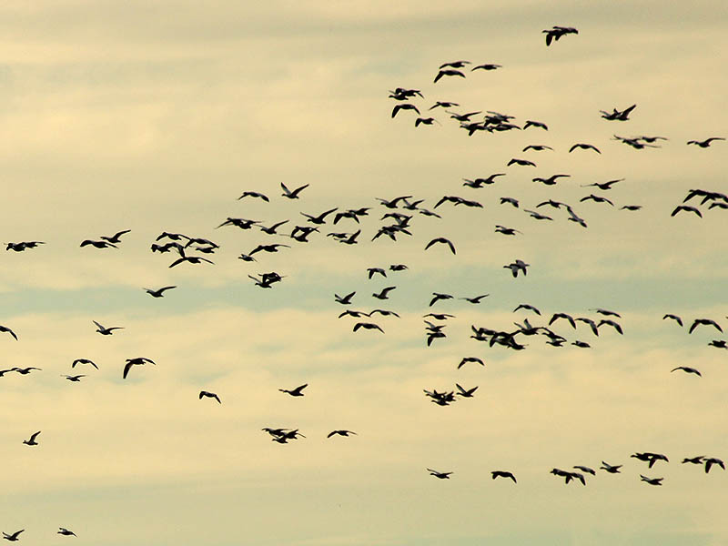 As we approached, waves and waves Snow Geese arrived on site.