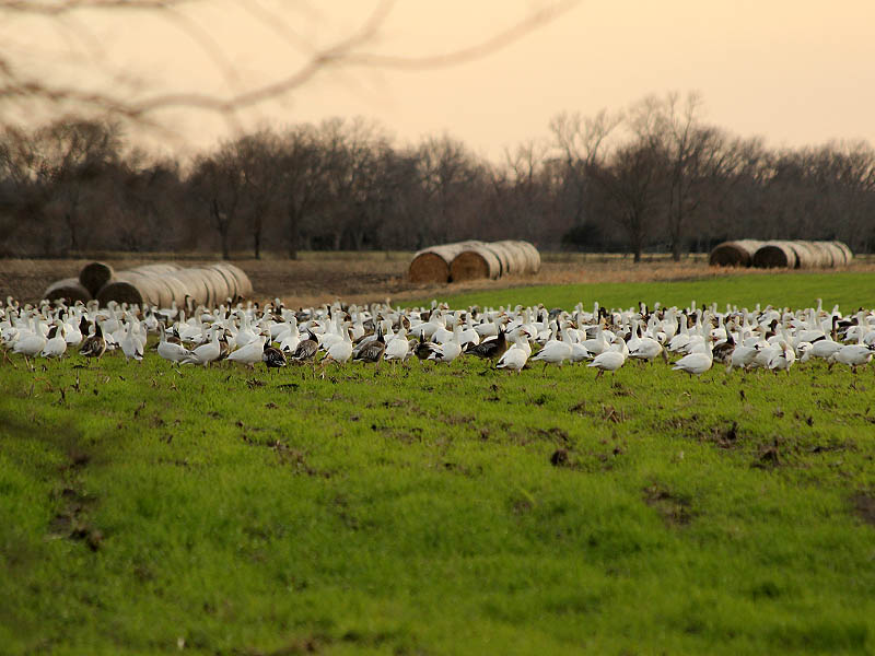 There were Snow Geese everywhere you looked!
