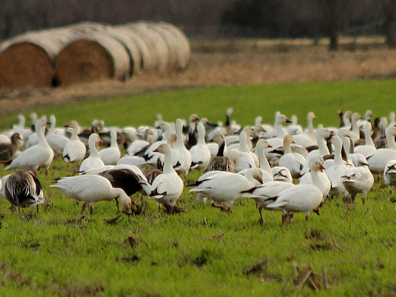 Snow Geese in Seagoville, Texas.