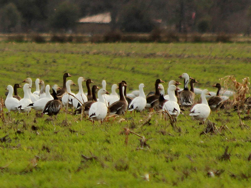 Snow Geese can either be mostly white, or mostly dark.  This grouping represents a collection of both color morphs, with both adult and juvenile birds represented.
