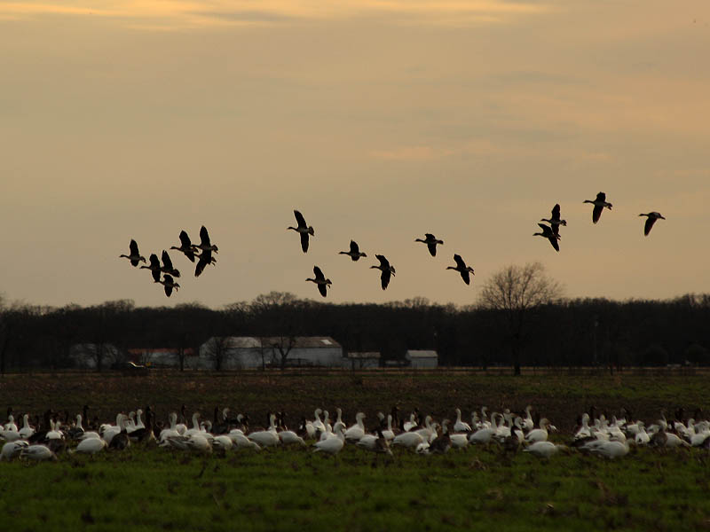 The attraction of this field was strong for the Snow Geese, and a constant stream arrived with the setting sun.