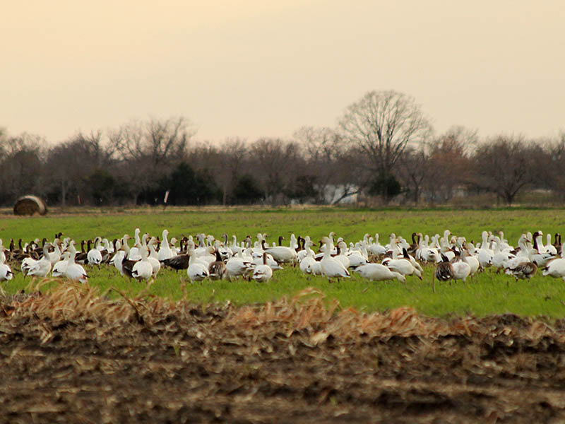 Snow Geese in Dallas County.