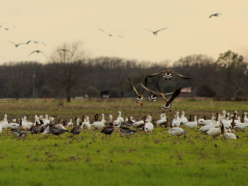 A group of dark morph Snow Geese coming in for a landing.