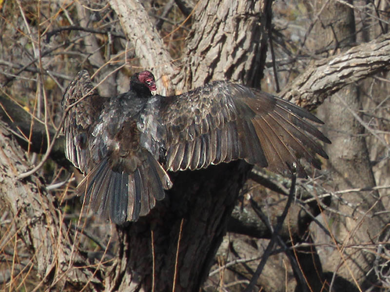 Turkey Vulture - Swamp Birds