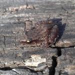 Western Chorus Frog - A Rare Find