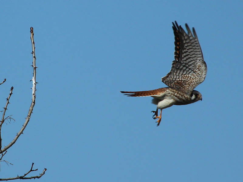 American Kestrel - Female in Flight