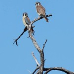 American Kestrel - Male and Female