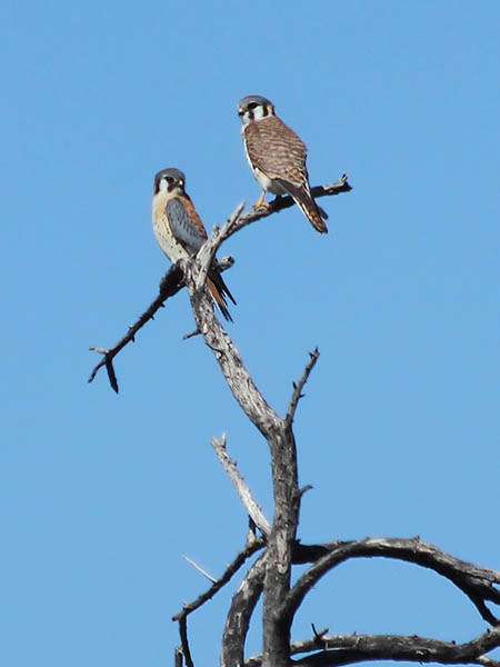 American Kestrel - Male and Female