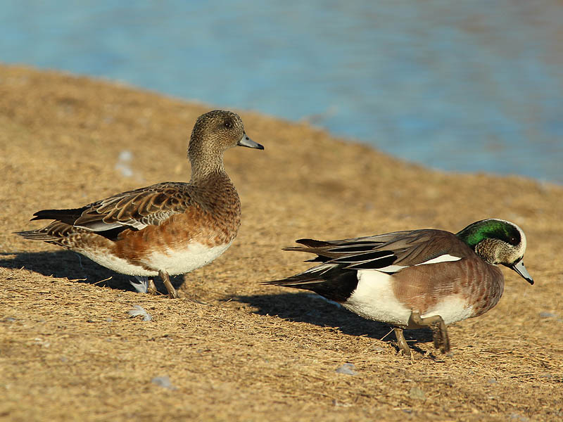 American Wigeon - Body Language