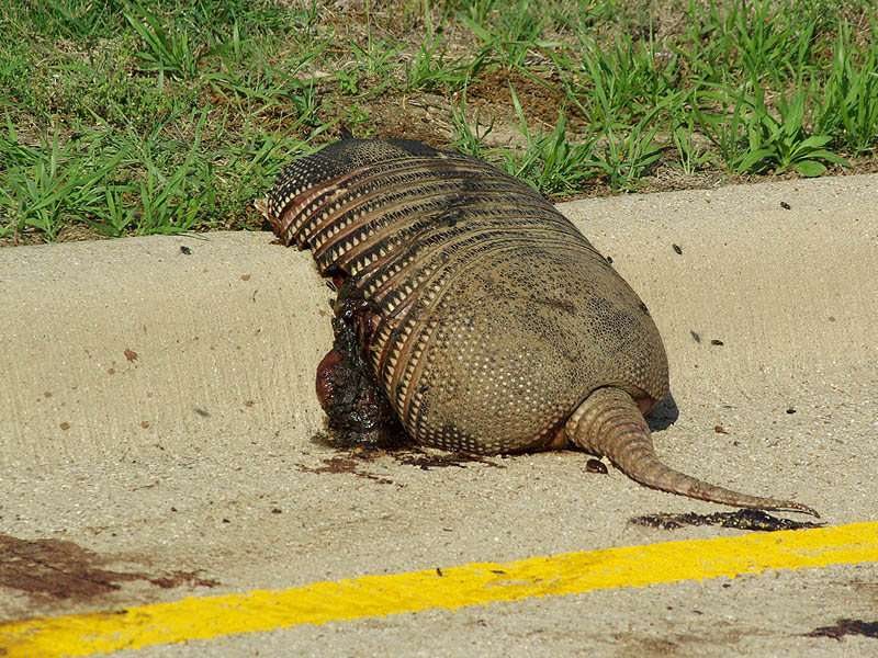 Armadillo - Denton Roadkill