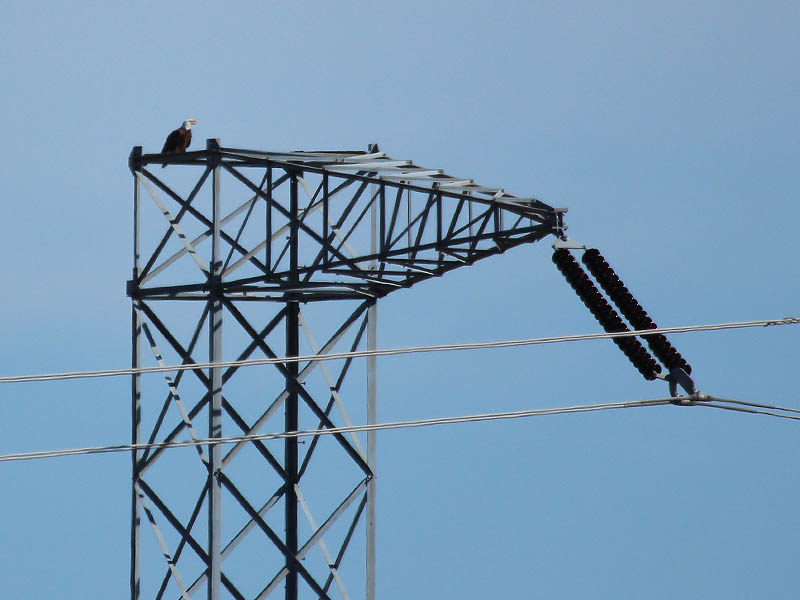 The male landed on top of a nearby tower.  There he continued to answer his mate's calls.
