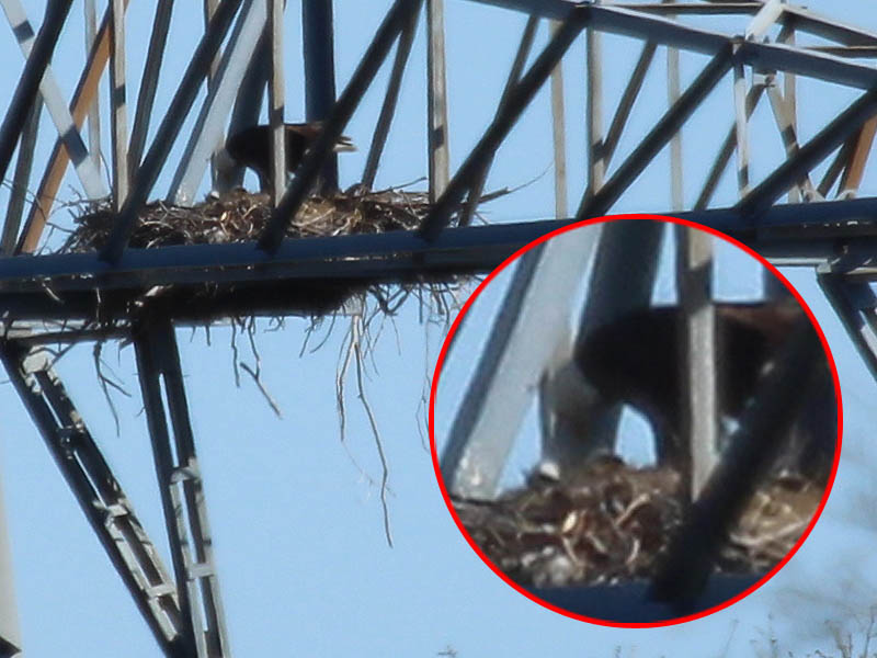 The two eaglets at last make their appearance.