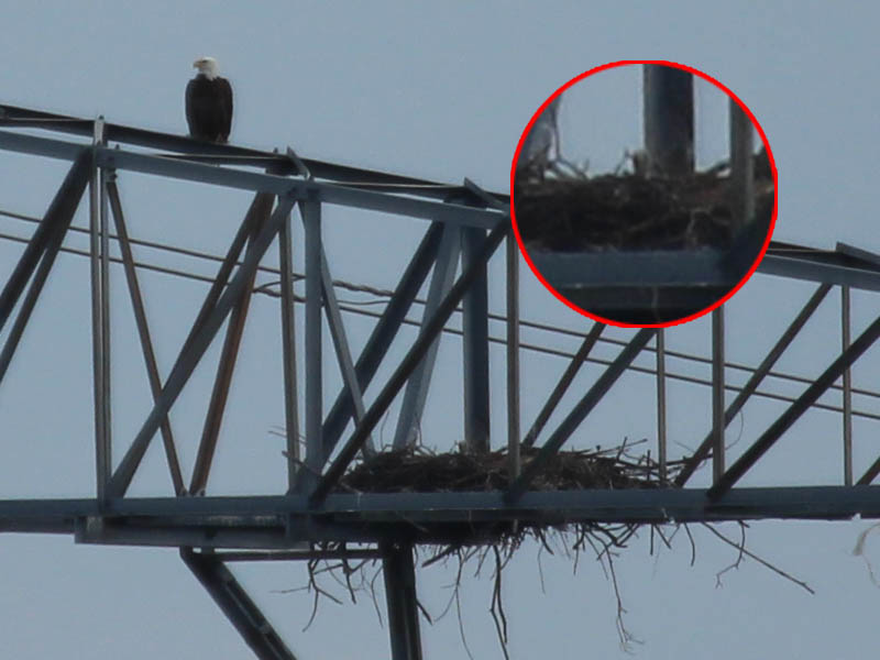 One eaglet makes a brief appearance.