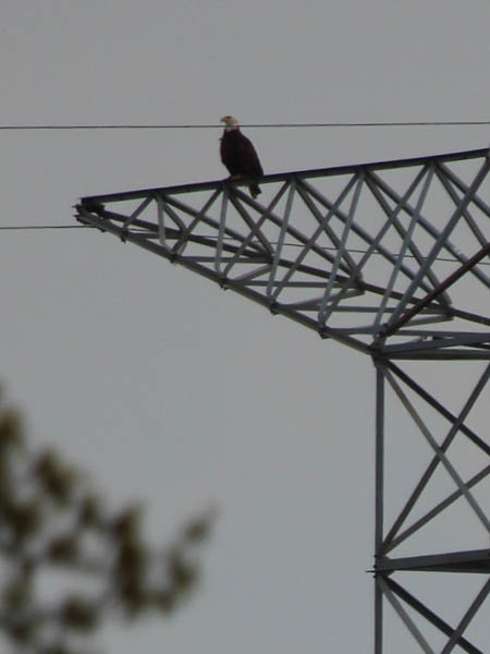The male eagle perched atop the tower.