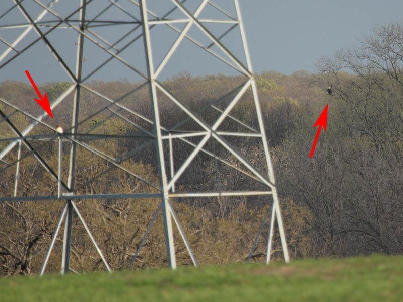 Bald Eagle on the right and Red-tailed Hawk on the left.