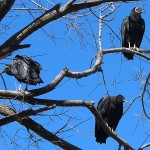 Black Vulture - Home