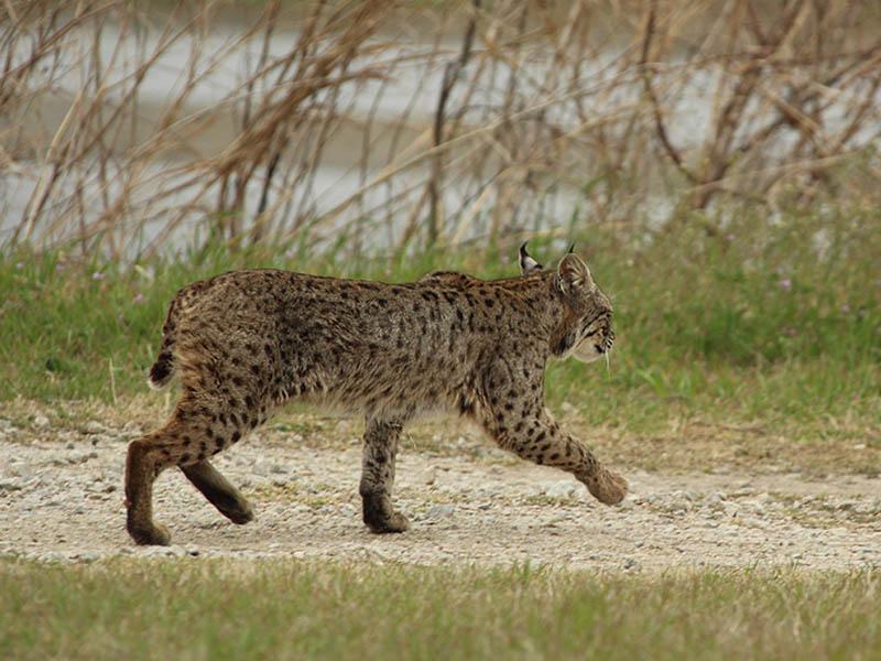 Bobcat A Privilege Dfw Urban Wildlife