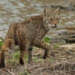 Bobcat - A Privilege