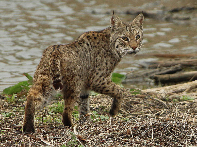 Bobcats are not always afraid of people, but they do not dangerous if observed with the proper caution and respect.