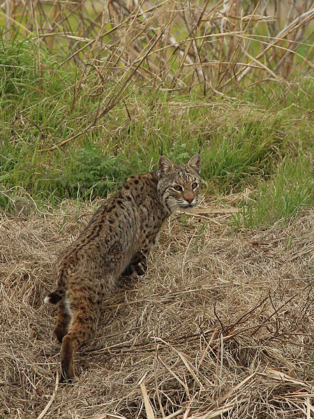Bobcats do not like being observed, and will  usually retreat as their first option.