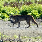 Bobcat - Suburbia