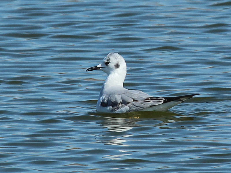 The juvenile Bonaparte's Gull.
