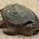 Common Snapping Turtle - Walk Around