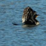 Double-crested Cormorant - Parasail