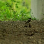 Eastern Phoebe - Under an Overpass