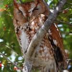 Eastern Screech Owl - Winter Visitors