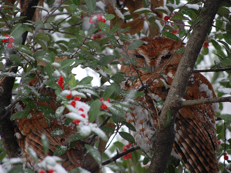 Eastern Screech Owl - Winter Visitors