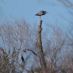 Great Blue Heron - Near the Rookery