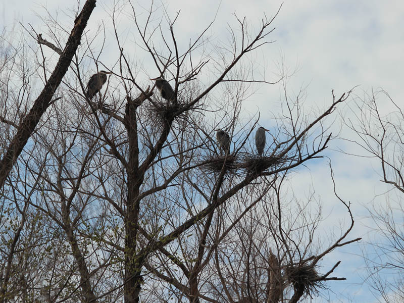 Great Blue Heron - Nests