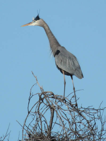 Great Blue Heron - Rookery Action