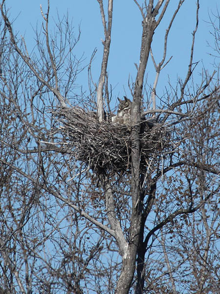 Great Horned Owl – VCDB Nests Update 4