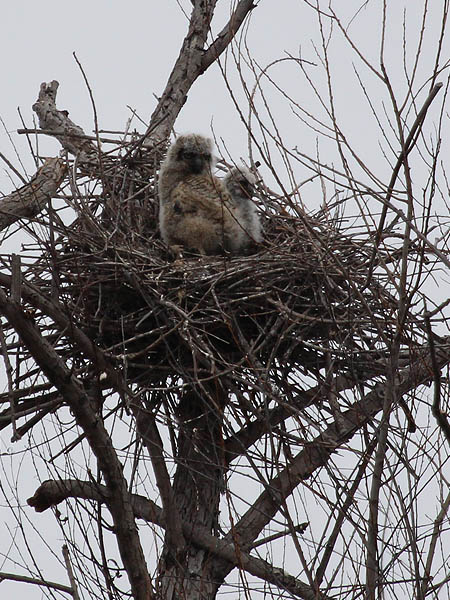 The two unattended owlets.