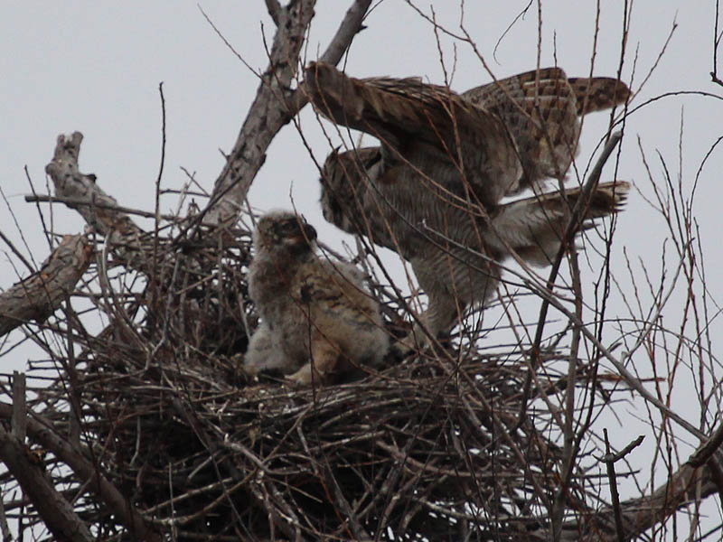 The owlets were very glad to see their mother.