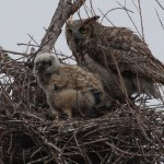 Great Horned Owl - VCDB Nests Update 5