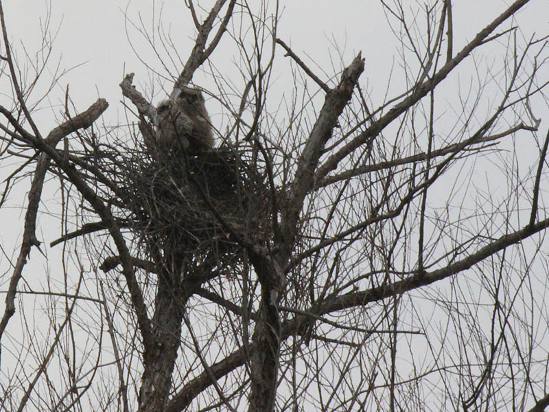 Great Horned Owl – VCDB Nests Update 6